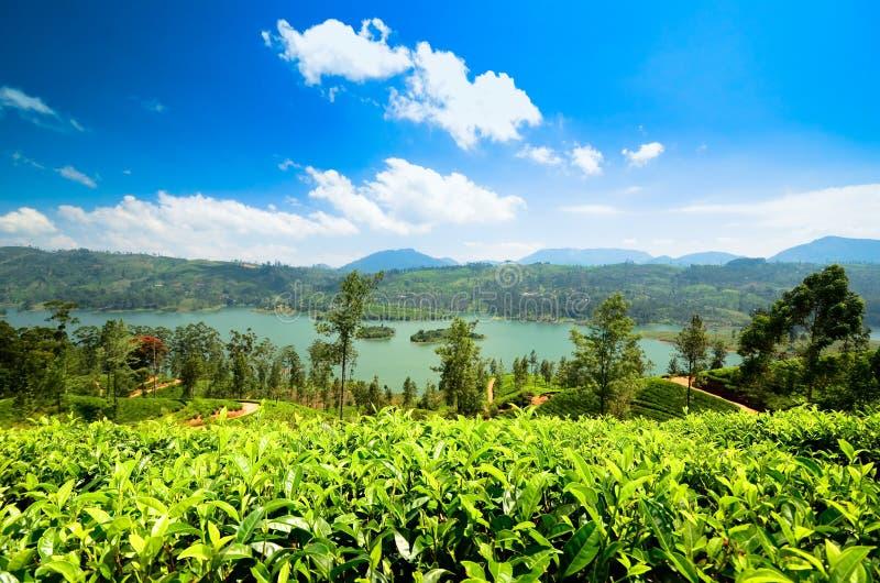 Piantagioni di tè in Sri Lanka fotografia stock libera da diritti