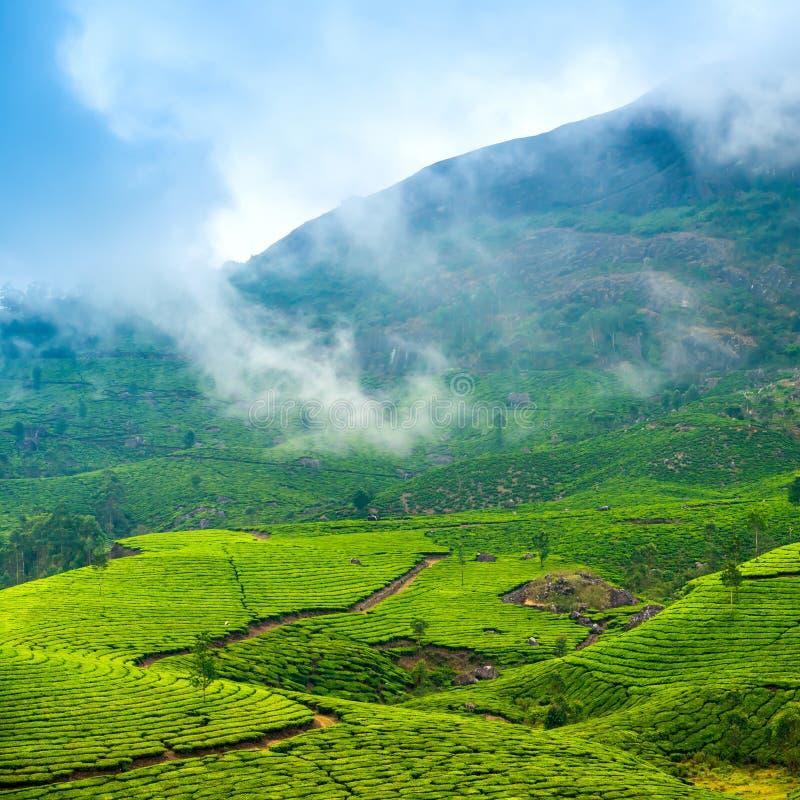 Piantagioni di tè verde con nebbia nelle prime ore del mattino, Munnar, Ker fotografie stock