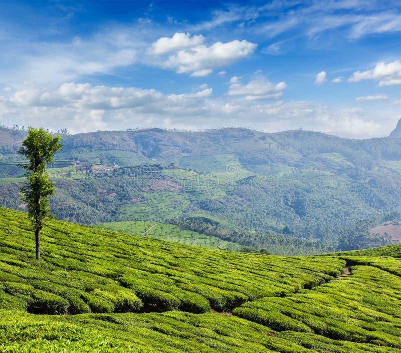 Piantagioni di tè verde in Munnar, Kerala, India fotografie stock