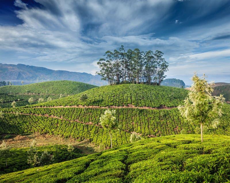 Piantagioni di tè verde in Munnar, Kerala, India fotografia stock