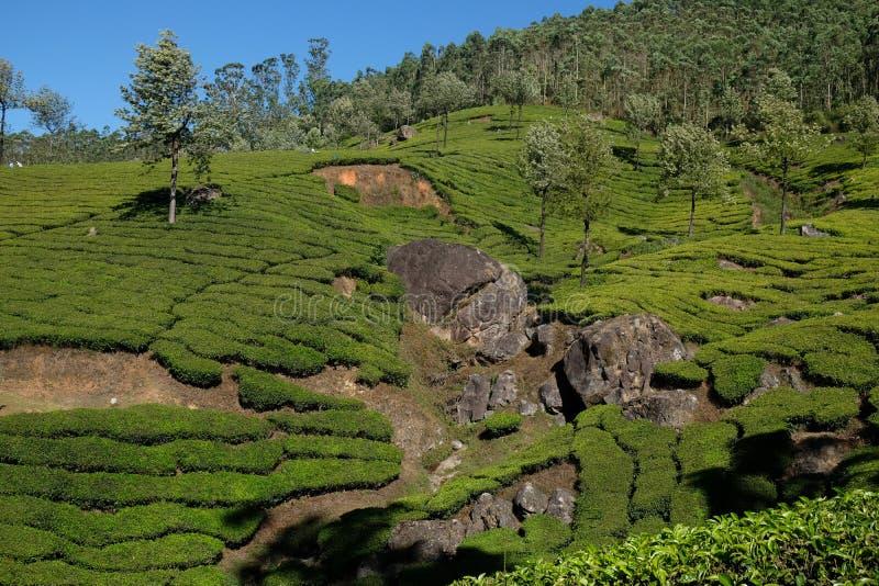Piantagioni di t? in Munnar, Kerala, India immagine stock libera da diritti