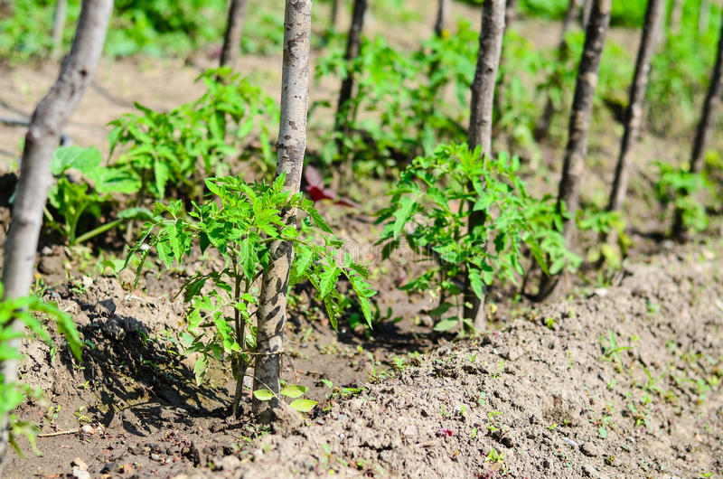 Piantatura dei pomodori fotografia stock libera da diritti