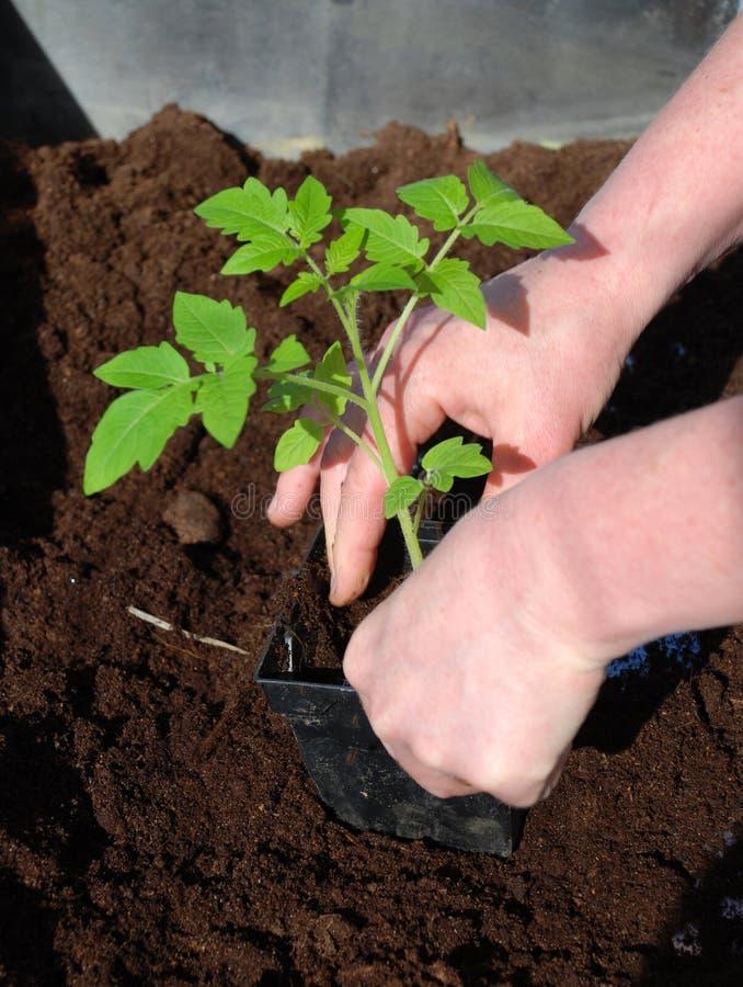 Piantatura del pomodoro fotografie stock libere da diritti