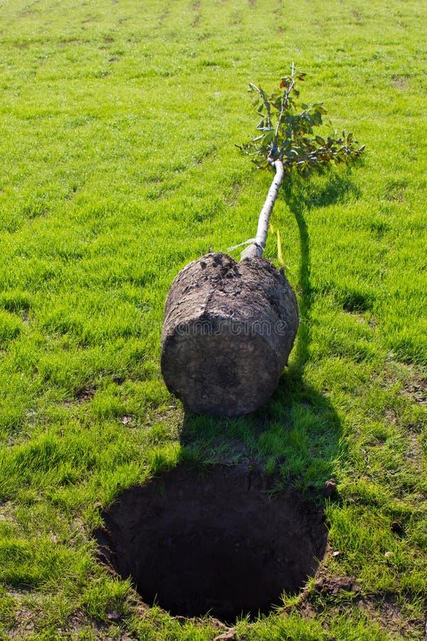 Piantatura dell'albero immagini stock