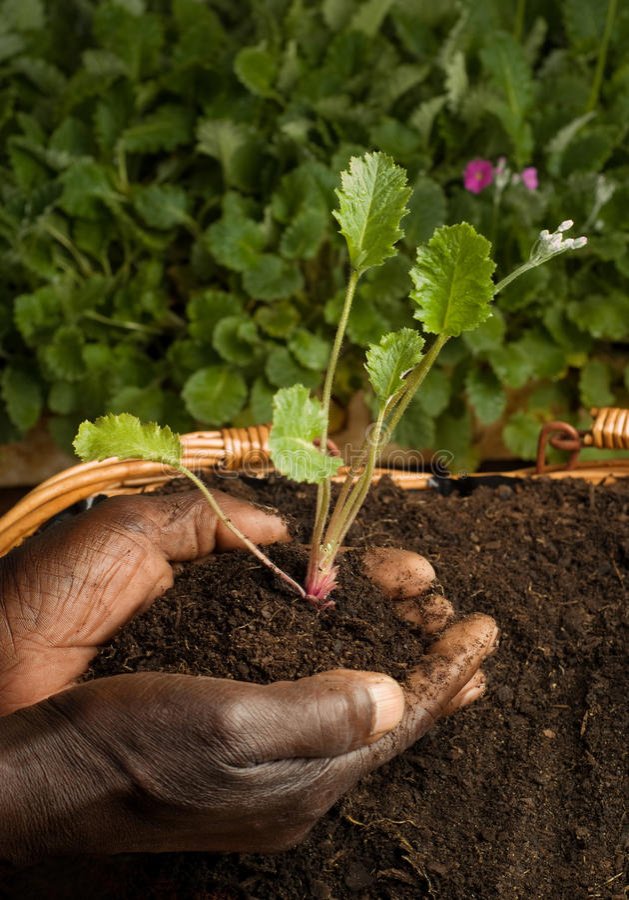 piantatura della pianta del giardiniere dell'afroamericano nuova immagine stock libera da diritti