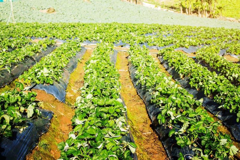 Piantatura delle fragole sulla montagna fotografia stock libera da diritti
