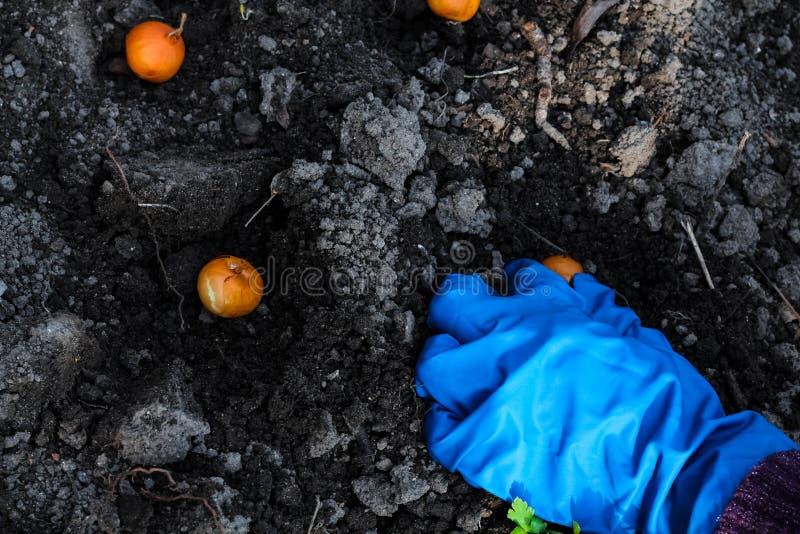 Piantatura delle mani della donna cipolle nei letti del giardino Lavoro di giardinaggio nel tempo di primavera immagini stock