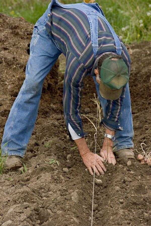 Piantatura delle patate 1 fotografia stock