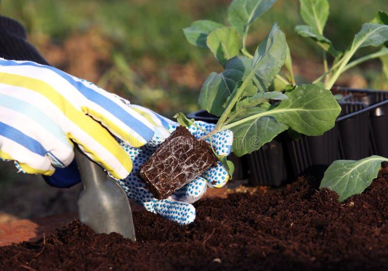 Piantatura delle piante di verdure fotografia stock