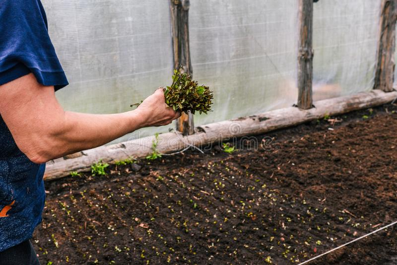 Piantatura i fiori e dei cespugli nella serra Una donna in sua mano tiene i gambi delle piante e seleziona un posto per piantare fotografia stock libera da diritti