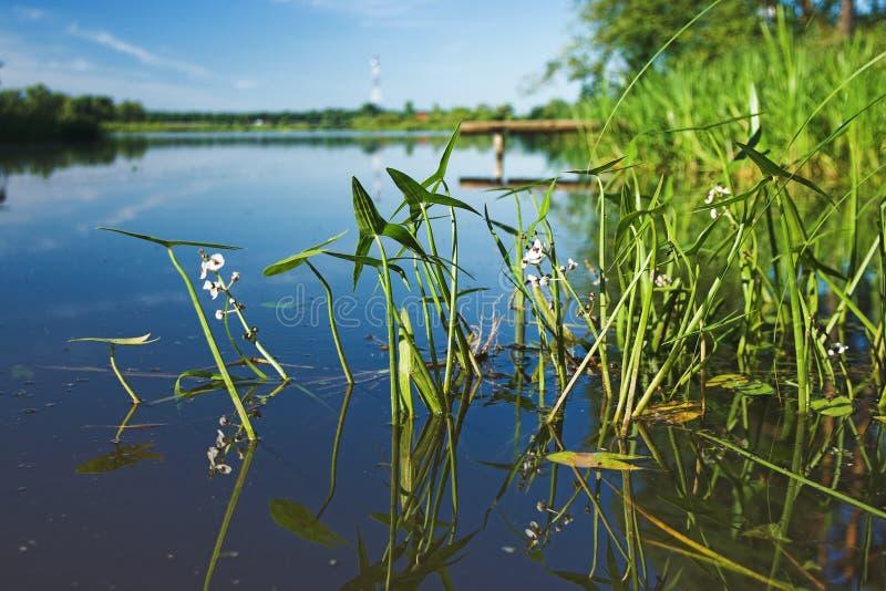 piante acquatiche sul fiume di volga immagine stock
