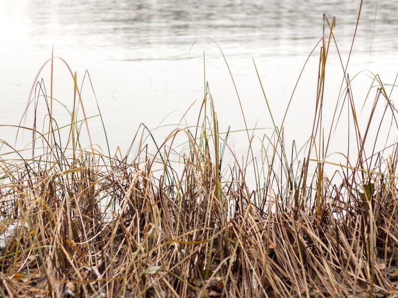 Piante appassite alla riva del lago in autunno immagine stock