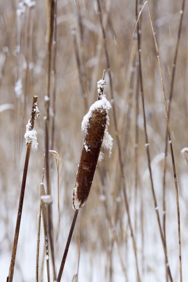 Piante asciutte nell'inverno immagini stock