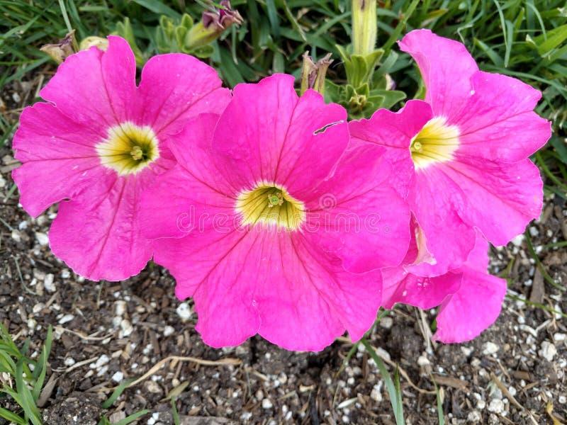 Piante biennali del giardino del cottage dei fiori della famiglia di malva delle malvarosa o perenni annuali rosa calde del Alcea immagini stock