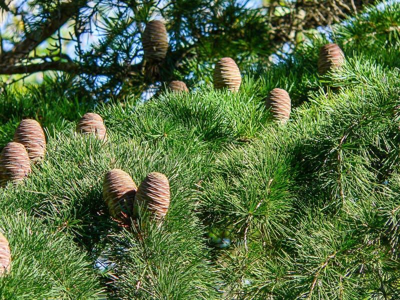 piante Cedro del Libano immagine stock