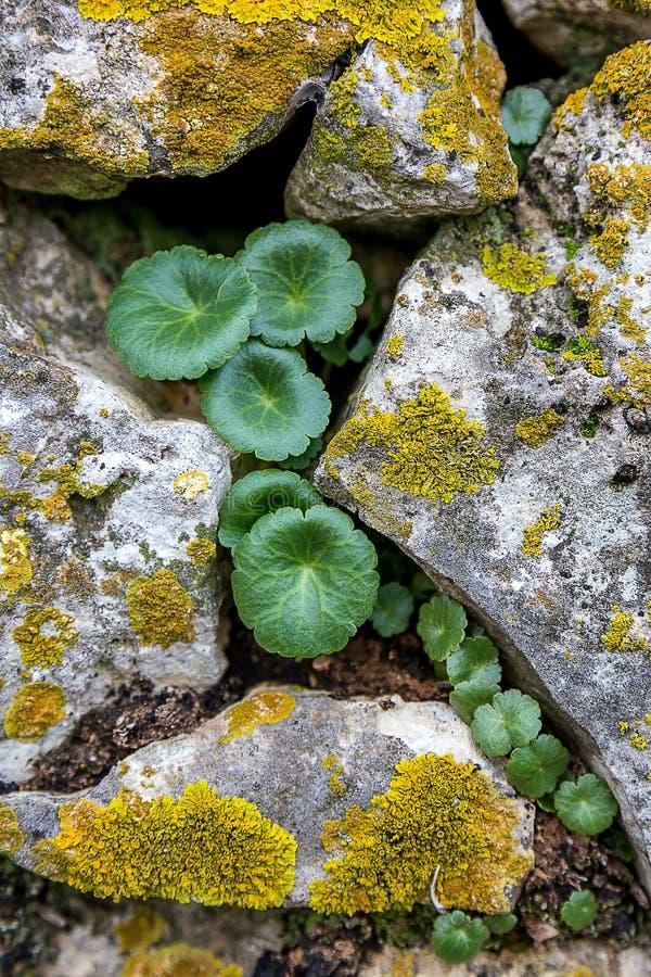 Piante che crescono in mezzo alle rocce fotografia stock
