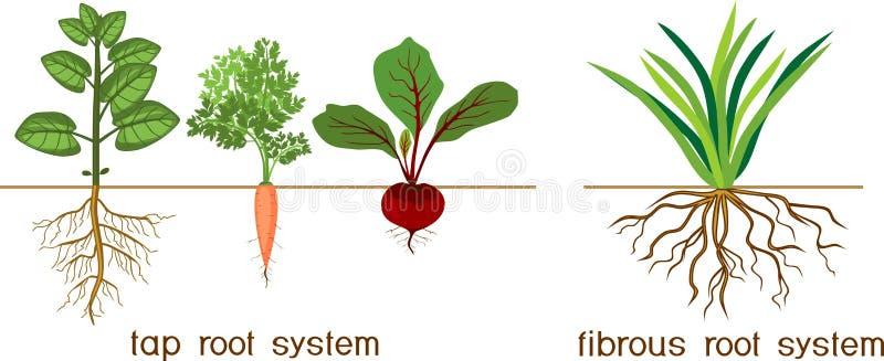 Piante con differenti tipi di sistemi della radice: sistemi della radice fibrosa e del rubinetto illustrazione di stock