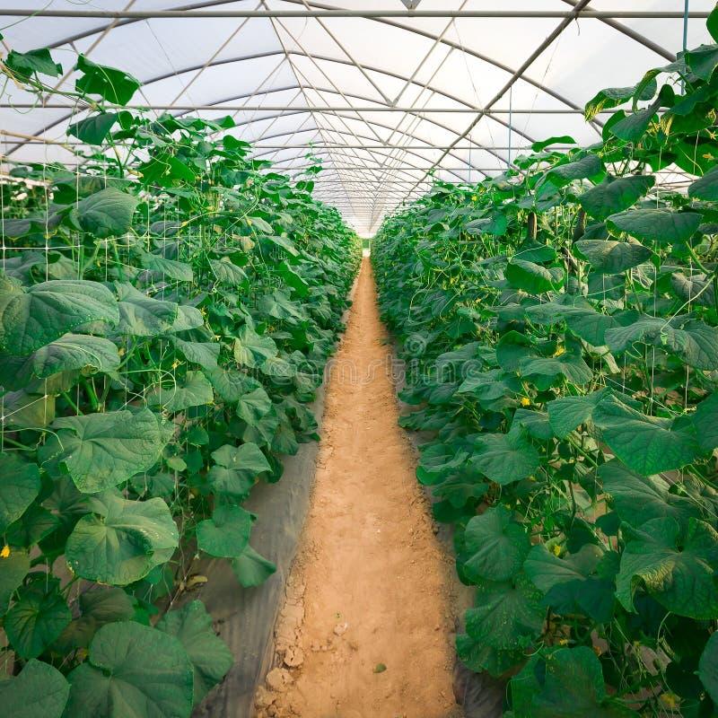Piante crescenti del cetriolo in serre. immagine stock libera da diritti