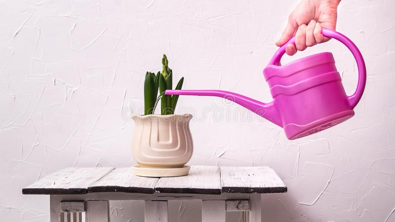 piante d'appartamento: piantine del giacinto in un vaso leggero contro fotografie stock libere da diritti