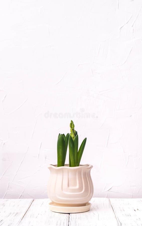 piante d'appartamento: piantine del giacinto in un vaso leggero contro fotografie stock