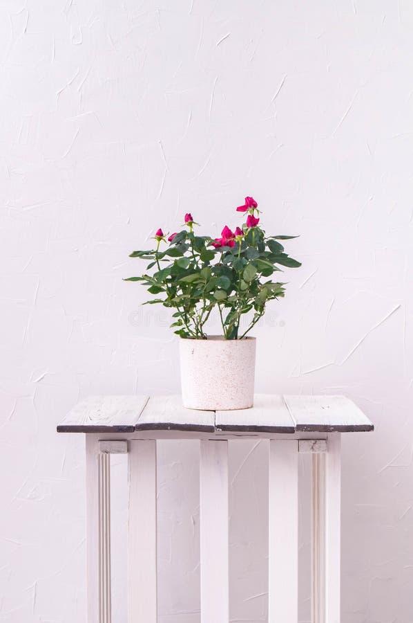 Piante d'appartamento: una rosa rossa in un vaso contro un fondo bianco della parete fotografie stock libere da diritti
