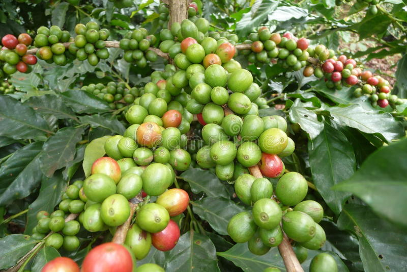Piante in Dalat, Vietnam del caffè immagine stock libera da diritti