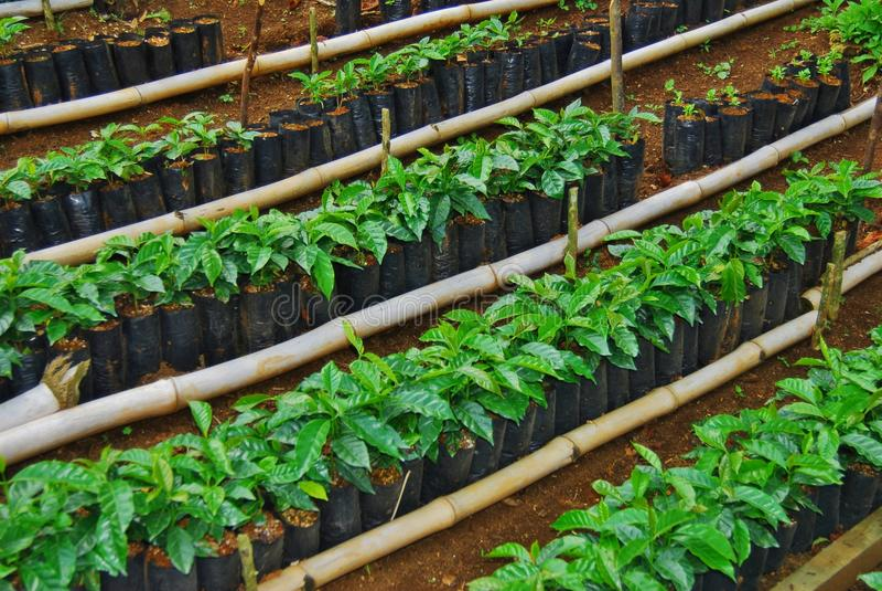 Piante del bambino del caffè della Costa Rica in sacchetti immagine stock libera da diritti