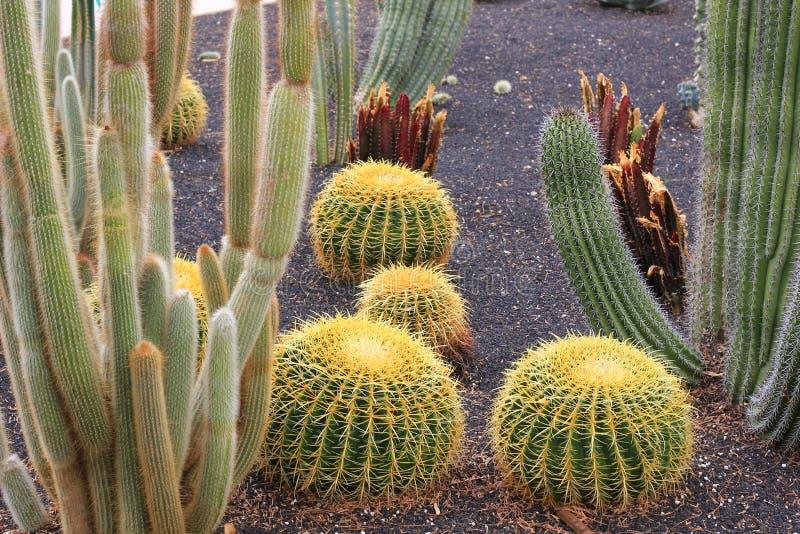 Piante del cactus di barilotto dorato nell'abbellimento del deserto fotografie stock libere da diritti