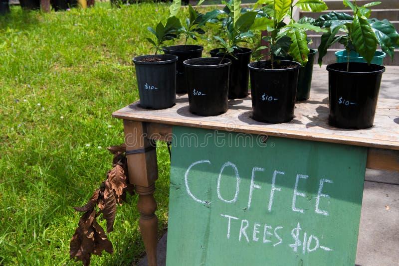Piante del caffè da vendere in vasi fotografia stock libera da diritti