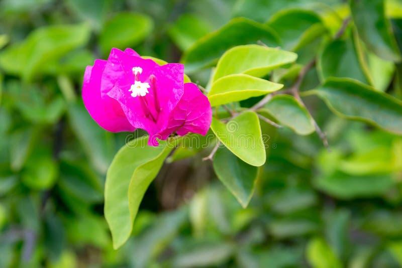 Piante del fiore della buganvillea Bougaville Il bouganvilla di carta di Flower fotografia stock libera da diritti
