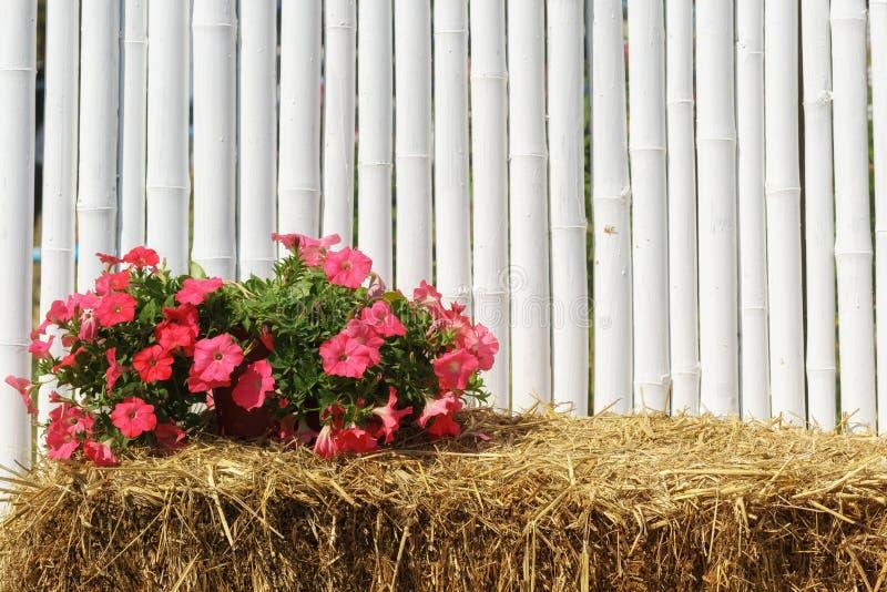 Piante del fiore della petunia di ricerca su paglia immagine stock