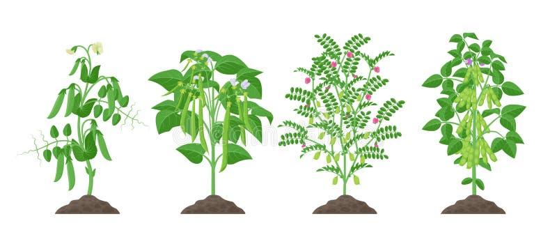 Piante del legume con la crescita di frutti matura dal suolo isolato su fondo bianco Pisello, fagiolo comune, cece, soia illustrazione vettoriale