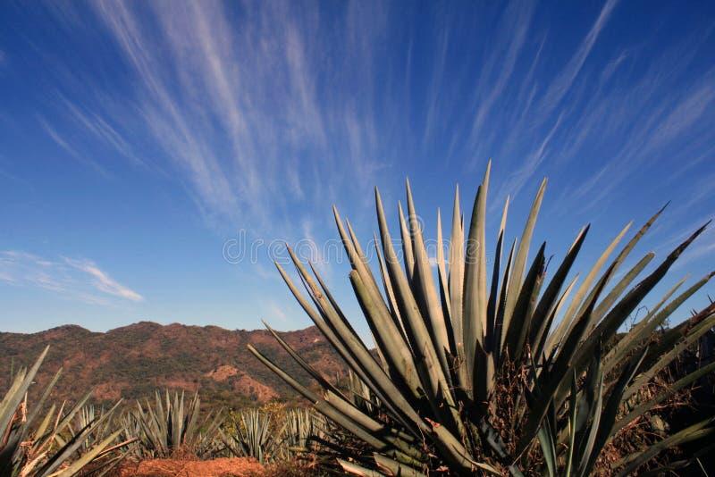 Piante dell'agave fotografia stock libera da diritti