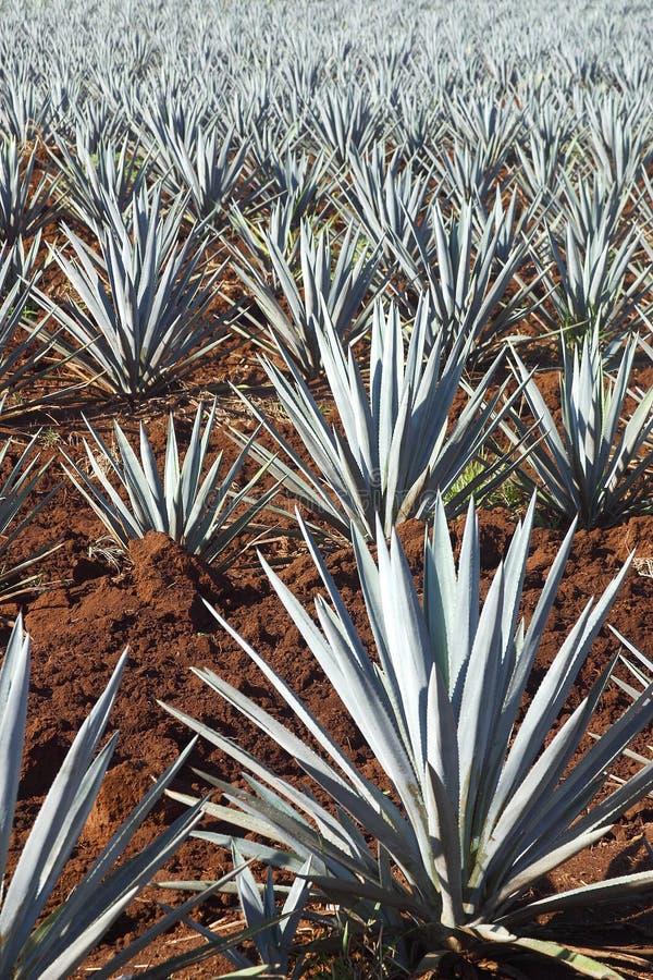 Piante dell'agave fotografia stock