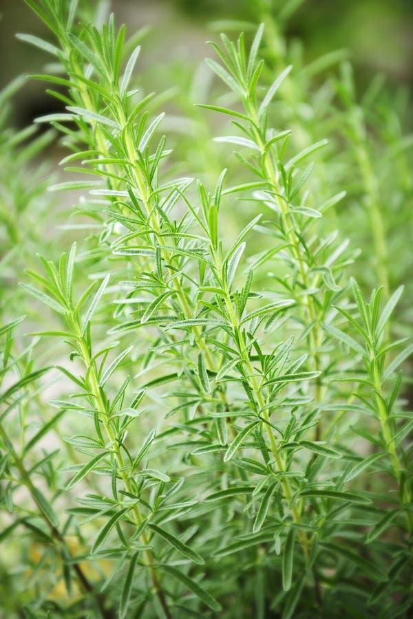 Piante dell'erba della Rosemary fotografie stock