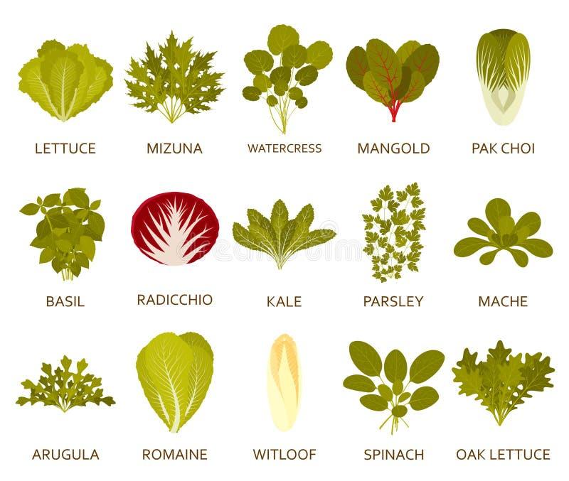 Piante dell'insalata verde isolate sui precedenti bianchi Illustrazione di vettore royalty illustrazione gratis