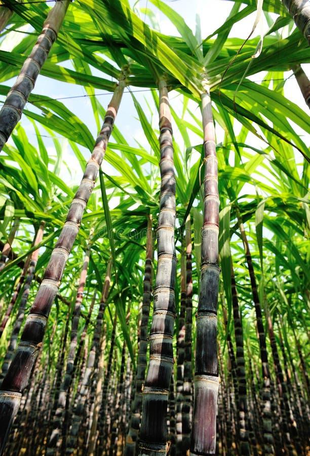 Piante della canna da zucchero fotografie stock libere da diritti