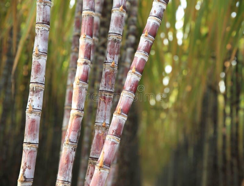 Piante della canna da zucchero fotografie stock