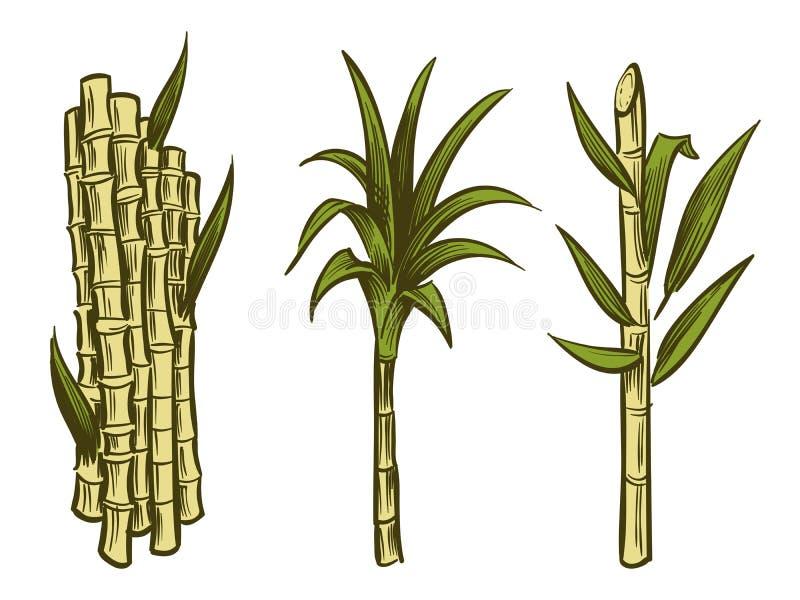 Piante della canna da zucchero isolate su fondo bianco illustrazione di stock