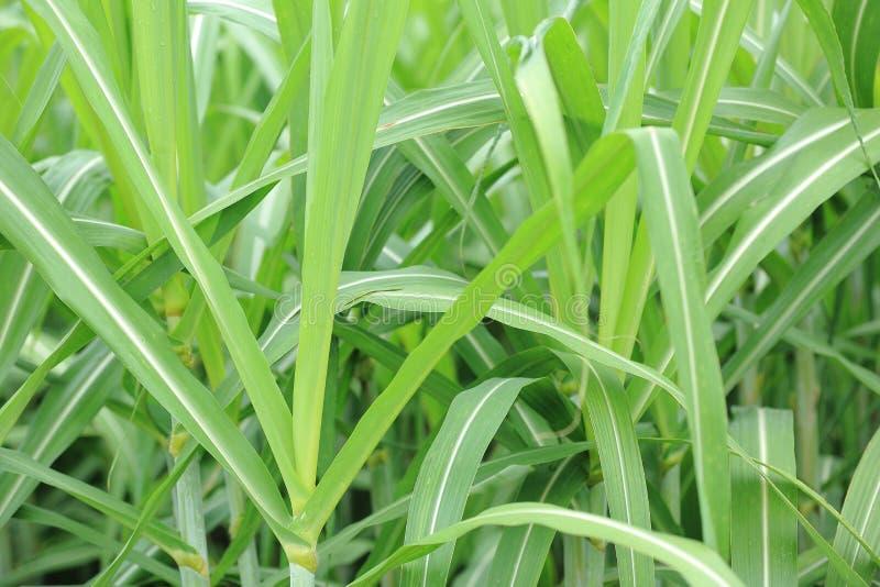 Piante della canna da zucchero nella crescita fotografie stock libere da diritti