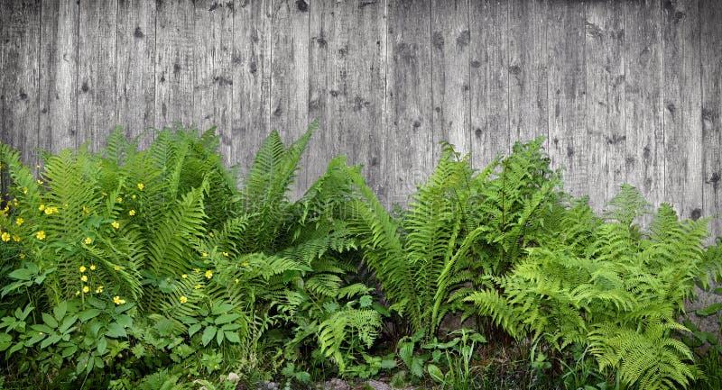 Piante della felce con le foglie verde intenso su fondo di legno fotografia stock libera da diritti