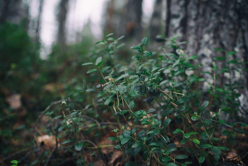 Piante della foresta Cespuglio di mirtillo nella foresta immagini stock