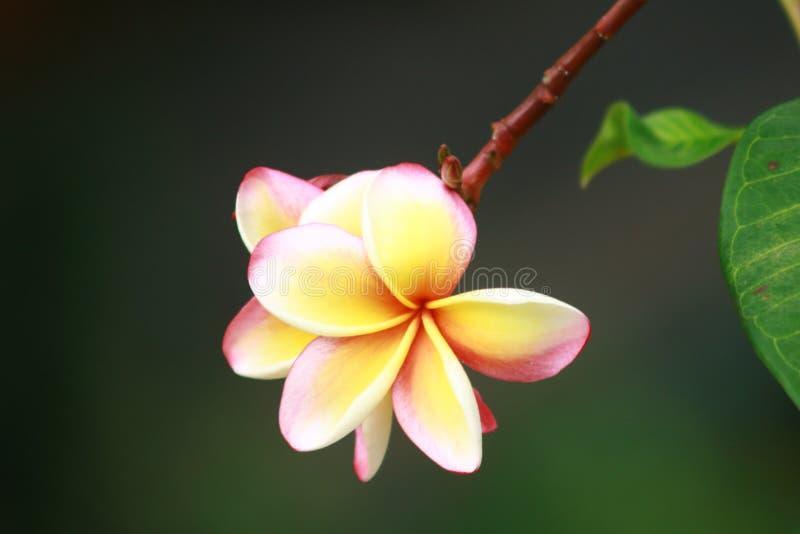 Piante delle Seychelles dell'albero del fiore del Frangipani fotografie stock
