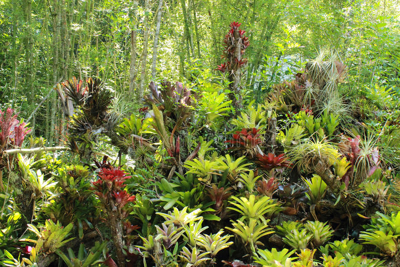 Piante di Bromeliacea in un giardino Caracas Venezuela fotografie stock libere da diritti