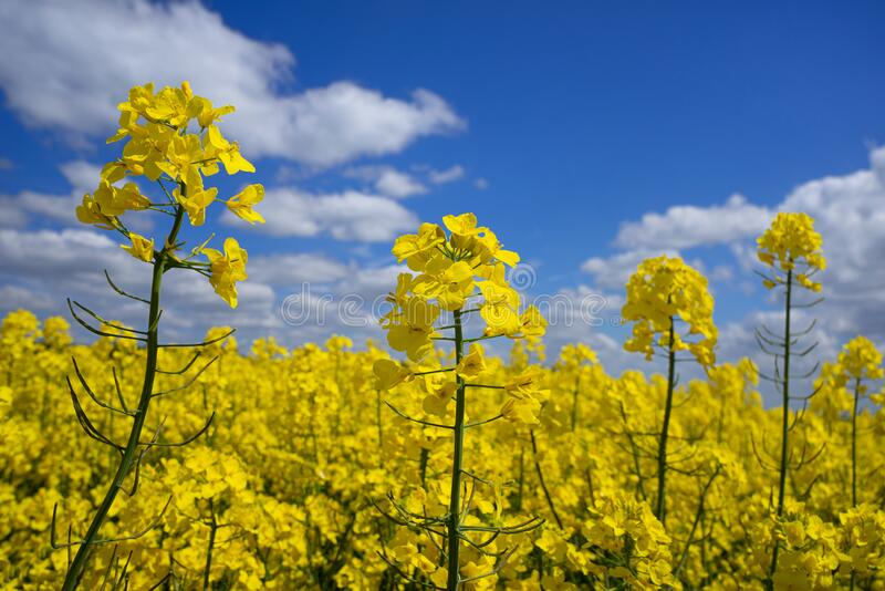 Piante di colza in fiore in un campo in primo piano immagine stock libera da diritti