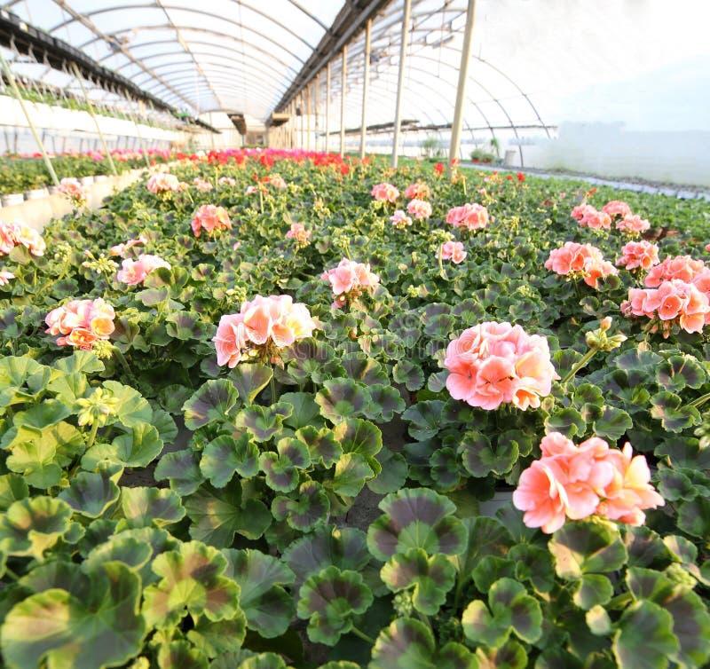 Piante di fioritura del geranio da vendere nella serra immagini stock libere da diritti