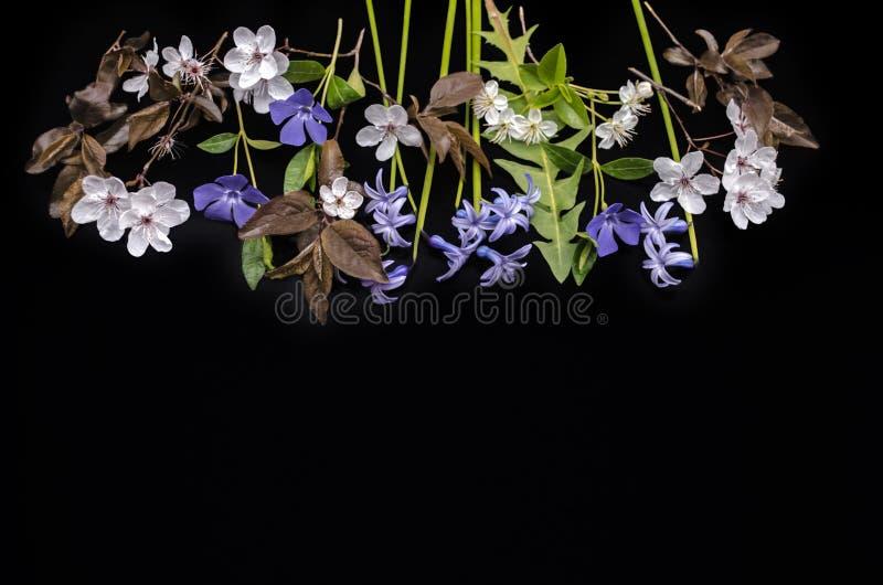 Piante di fioritura della vinca della primavera, giacinti, prugne di fioritura e fiori di ciliegia su un fondo nero fotografia stock libera da diritti