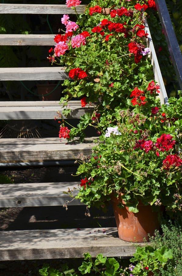 Download Piante Di Fioritura Variopinte Del Geranio In Vasi Da Fiori Nel  Giardino Sulle Vecchie Scale