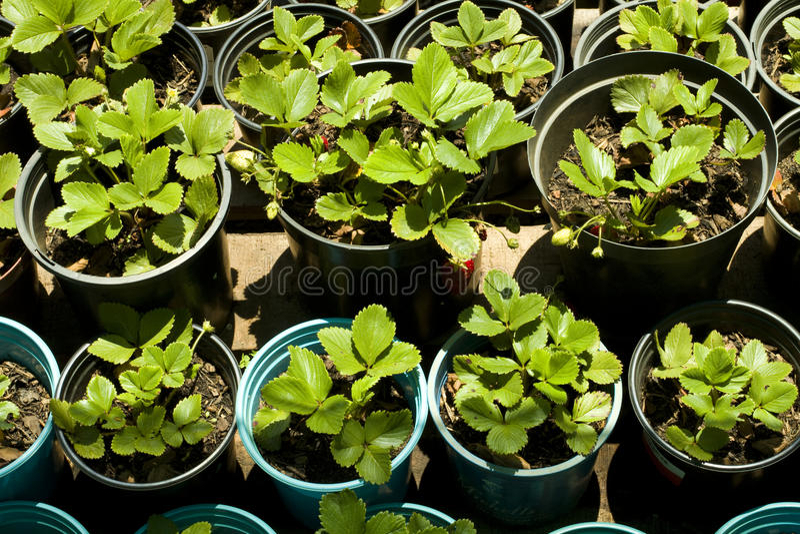 Piante di fragola immagine stock immagine di nursery for Piante di lamponi acquisto