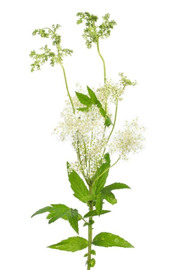 Piante di guarigione: fiore e leafes di filipendula ulmaria della filipendula su fondo bianco fotografia stock libera da diritti